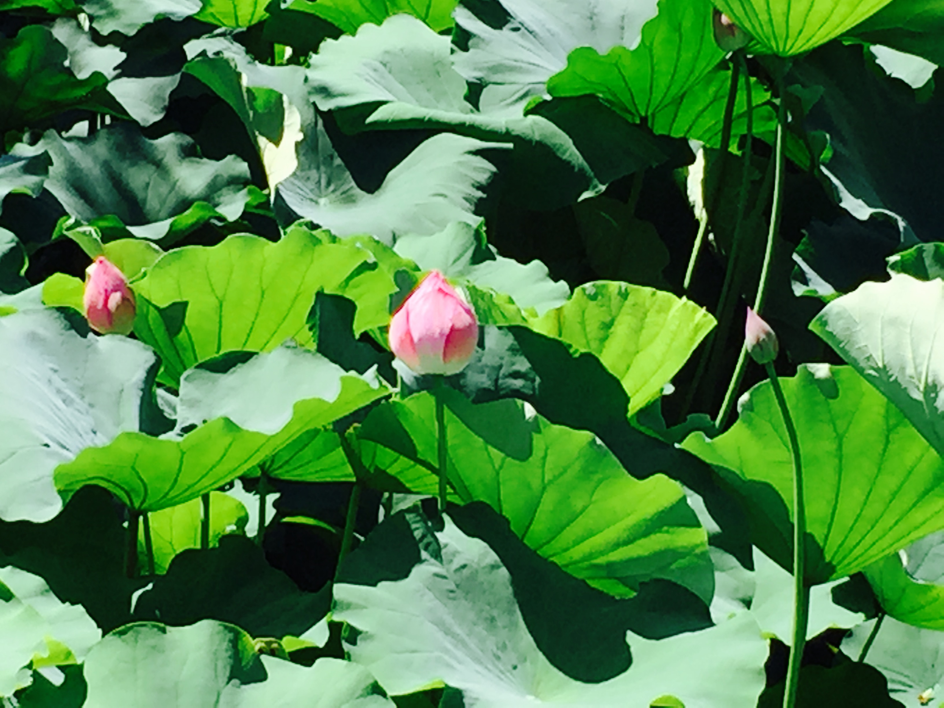 Photo of a lotus garden